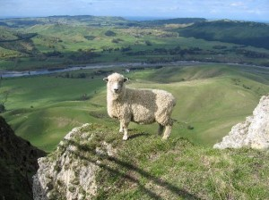 NZ_Sheep